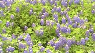Texas State Flower The Bluebonnet