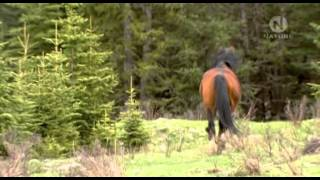 Divocí koně z kanadských Skalistých Hor (dokument) Dabing CZ