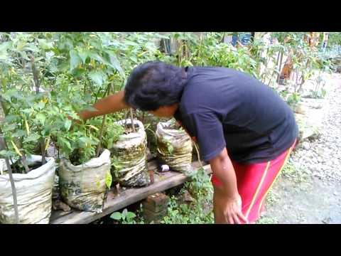 Video Memetik daun kemangi dalam karung bersama cabe