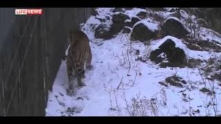 Козлик Тимур отказывается от еды и сна после разделения с тигром
