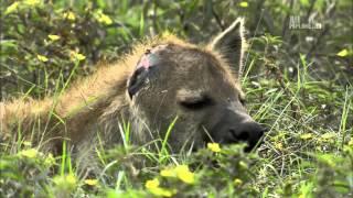 Смотреть онлайн Жизнь и поведение гиен в дикой природе