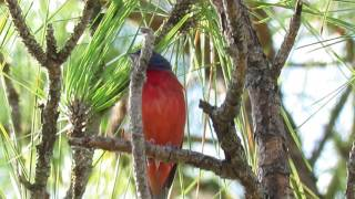 Fellow Birders Spot Male Painted Bunting Singing in Tree! Pinckney Island National Wildlife Refuge