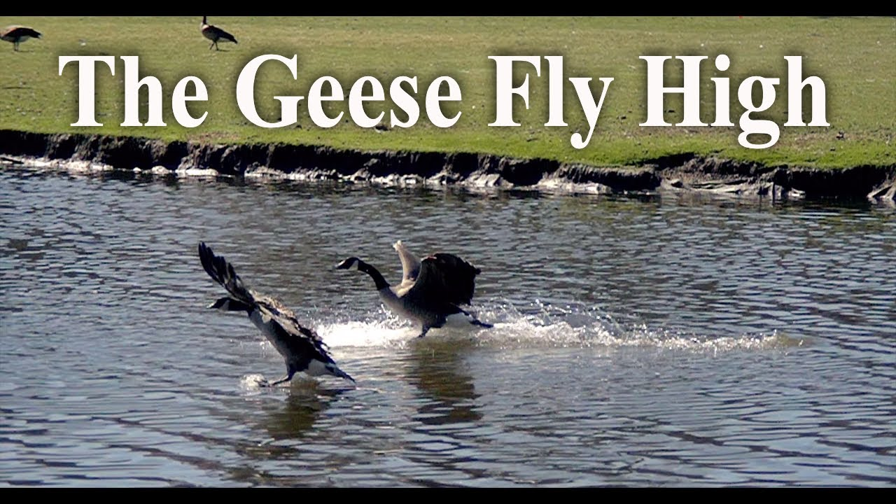 """""""The Geese Fly High"""""""