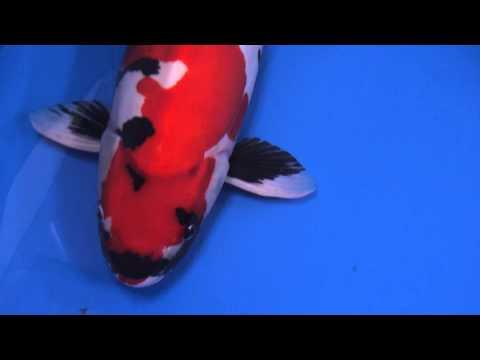 2013年全日本総合錦鯉品評会、椿賞、65部、ドイツ鯉