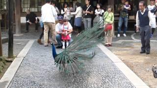 雨引観音の孔雀クジャク