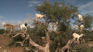 Goat - Adaptation to Drought in Morocco