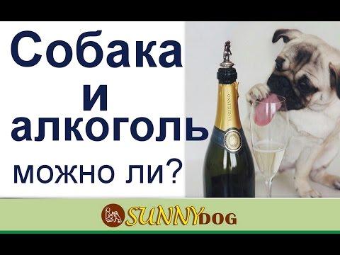 Можно ли собаке алкоголь? Как влияет алкоголь на собаку?