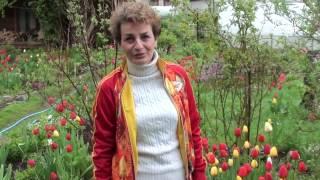 Посадка тюльпанов видео