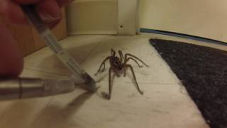 Man Untangles Wolf Spider