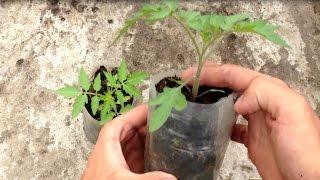 Как вырастить здоровую рассаду томатов / Когда подкармливать томаты