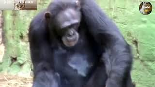 Приколы с животными - танцующая обезьяна | new crazy animals 68