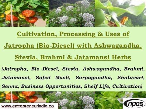 Video Cultivation, Processing & Uses of Jatropha (Bio-Diesel) With Ashwagandha & Jatamansi Herbs