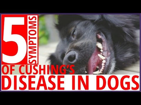 Video Top 5 Symptoms of Cushing's Disease in Dogs !! dog health tips 2017