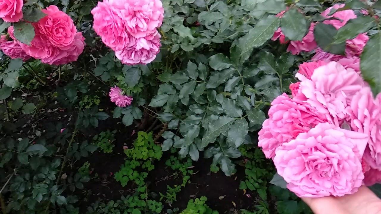 Розариум Ютерзен особенности розы