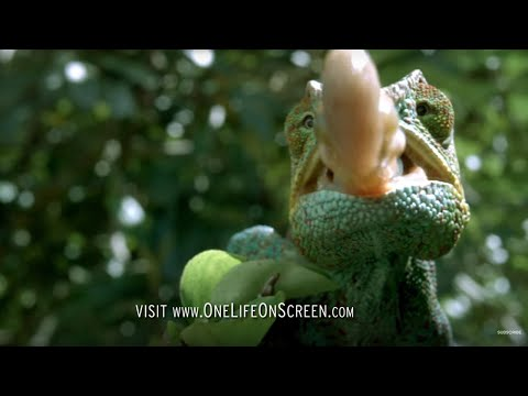 Chameleon Tongue In Slow Motion One Life Bbc Earth