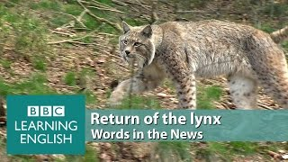 Return of the lynx. Learn: elusive, predator, ecosystem, pose a threat, livestock
