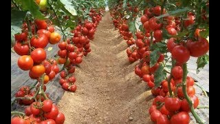 WOW! Amazing Agriculture Technology    Tomato