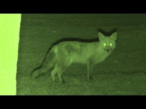 Foxing – Brilliant HD night vision fox shooting