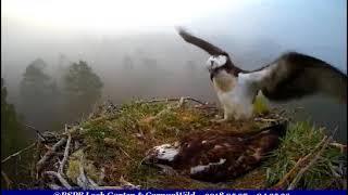 EJ returns to eggs, GJ pays very quick visit ~ ©RSPB Loch Garten & Carnyx Wild   Kholo.pk