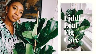 How to successfully care for a Fiddle Leaf Fig + New Plant Haul🌱🌿