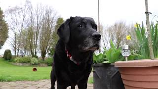 A DAY IN THE LIFE OF OUR BLACK LABRADOR DILLY! | NEW COLLARS *EXCITING*