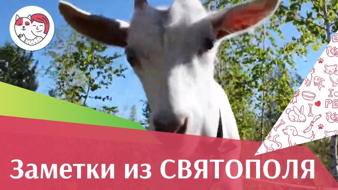ЗАМЕТКИ ИЗ СВЯТОПОЛЯ выпуск 1 Коза Сметанка в  шляпе ilikepet