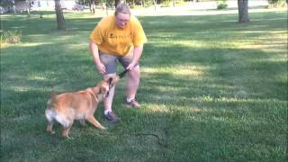 12 Month Old Female Belgian Malinois/GSD for Adoption