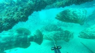 Epic 50+ Goliath Grouper gone wild dive (Jewfish)