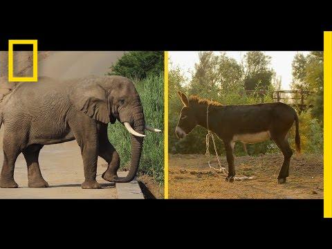 Elephant or Donkey? How Animals Became U.S. Political Symbols   National Geographic thumbnail