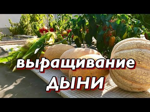 Дыня.Лучшие сорта. Выращивание дыни