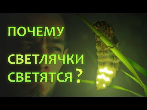 Почему светятся светлячки? Разбираем подробности | ЭНТОМОЛОГ from rus