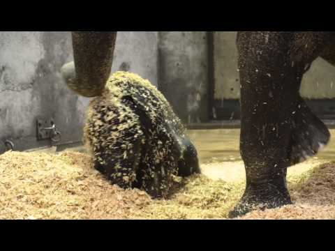 Watch: Baby Elephant Dives Head First in Woodchips