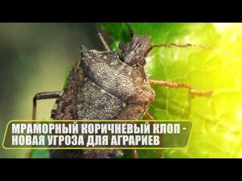 Мраморный коричневый клоп - новая угроза для аграриев