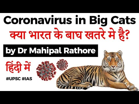Tiger catches coronavirus in New York's Bronx Zoo, Is Indian tiger population under Covid 19 threat?
