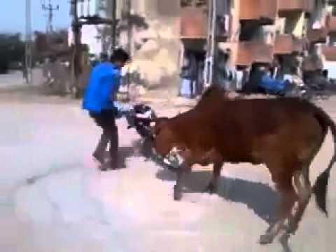 Khi quái xế gặp bò điên