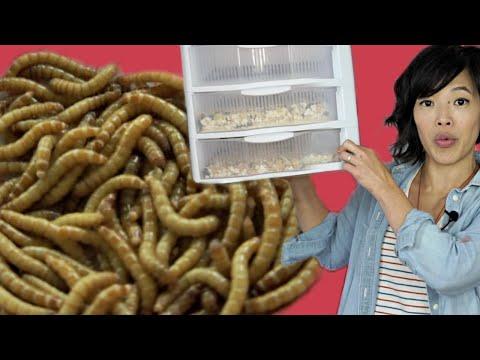 , title : 'GROW Mealworms for FOOD | DIY Mealworm Farm | BUGMAS 2018 - Day 1