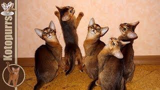 Смешные абиссинские котята играют и прыгают  [kotopurrs]