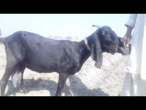 BEETAL GOAT WITH TWO BABAY (PRICE 60000) || Best beetal breed in