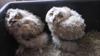 14.06.18 Птенцы ФИЛИНа:))) Утренняя трапеза))) a large owl