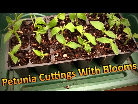 Propagating Petunia Cuttings in August and Overwintering Them (Part 1) Rooting Cuttings with Blooms