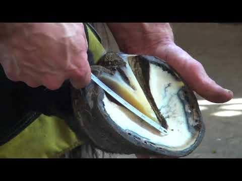 Certified Journeyman Farrier trims horse hoof