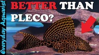 6 AWESOME Aquarium ALGAE EATERS That Aren't Pleco Fish