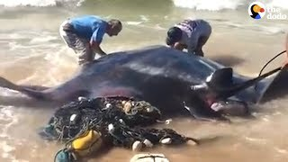 People Rescue Giant Manta Ray From Fishing Net    The Dodo