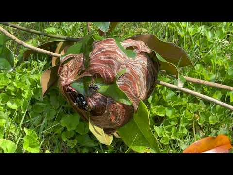 Bald Faced Hornets Nest Exterminated in...