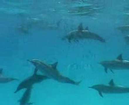 Delfine, Rotes Meer allgemein,Ägypten