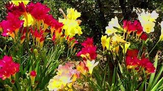 Care of Freesia plant    Grow freesia bulbs