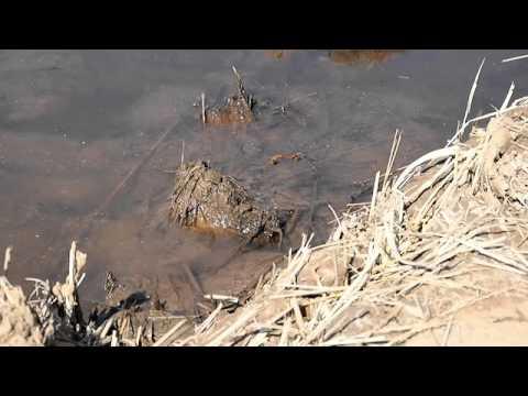 E-PL5 テスト動画 アキアカネの産卵