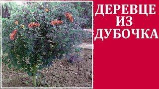 Хризантемы корейские - дубочки.   Как сформировать деревце из дубочков