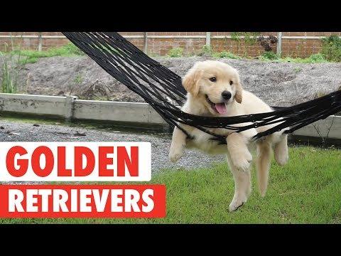 סרטון מקסים שמוקדש לכלבים הכי חמודים בעולם: גולדן רטריברים!