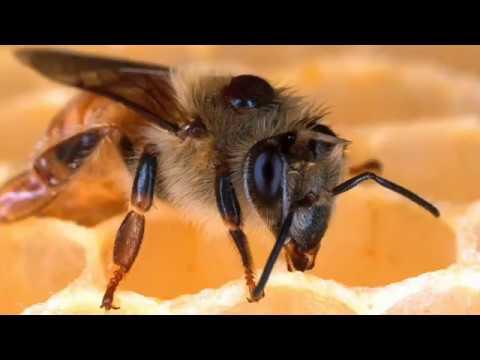 , title : 'Capsule 1  Formation apicole - Comment vivent les abeilles?